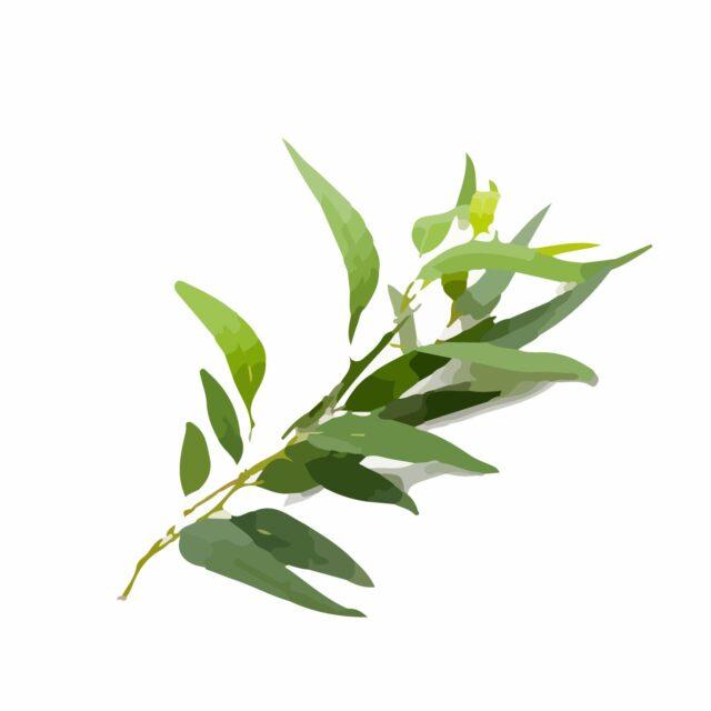 Ingredients-12 Tea Tree Oil